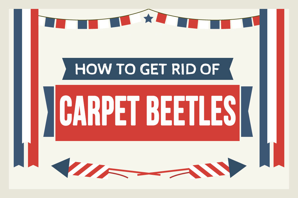 How To Get Rid Of Carpet Beetles Permanently A Step By